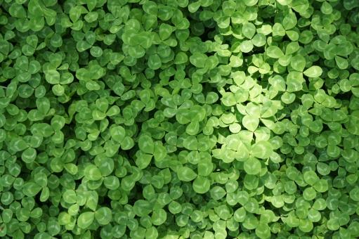 クローバー 植物 自然 エコ 環境 緑 三つ葉 春 かわいい 明るい 幸せ ハッピー 光り テクスチャ 壁紙