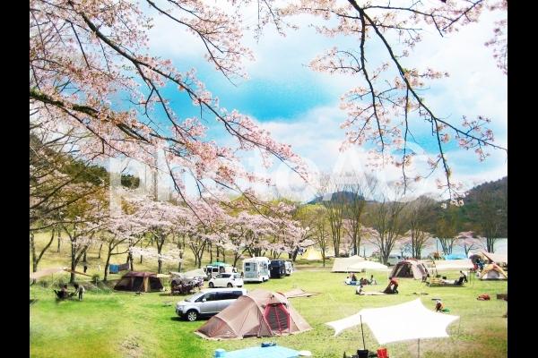 桜 キャンプ場の写真