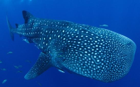 ジンベイザメ じんべい 水族館 巨大 大きい 魚 泳ぐ サメ 鮫