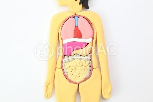 人体模型2の写真