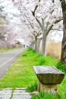 さくら サクラ 桜 木のベンチ ベンチ 公園 日本の花 春の花 4月の花 植物 cherry blossoms さくら並木 일본의 벚꽃 日本樱花 sakura 自然 風景 景色 花画像 桜フリー画像 桜無料画像