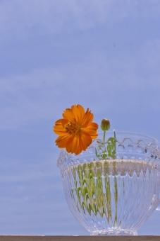 夏 花 太陽 大空 青空 空 夏空 植物 暑さ キバナコスモス 夏の花