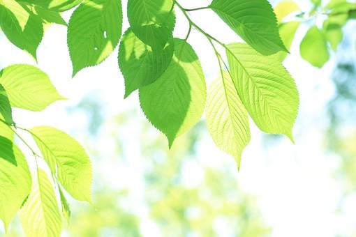 葉 緑 木 新緑 新芽 日本 木の葉 自然 植物 屋外 壁紙 背景 背景素材 バックグラウンド 光 青空 環境 エコ  枝 さわやか 爽やか 初夏 若葉 影