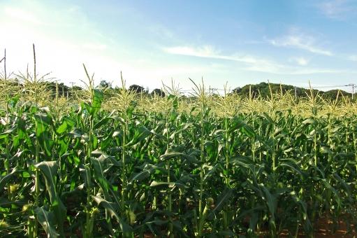 トウモロコシ畑 玉蜀黍畑 とうもろこし畑 農地 農業 農作物 農産物 農耕地 植物 farm 夏 初夏 季節感 seasonimage 青空 自然 緑 風景 景色 食べ物 食品 食材 食物 食料品 食糧 食料 穀物