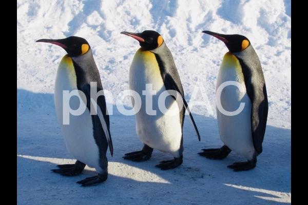 ペンギンの行進の写真