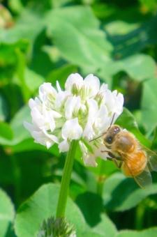 ミツバチ みつばち 蜜蜂 日本蜜蜂 三つ葉 クローバー みどり 花 植物 初夏 草むら ハチ 蜂 蜂蜜 ハチミツ はちみつ
