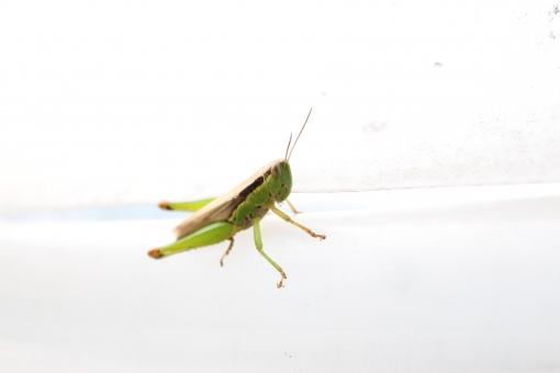 トノサマバッタ バッタ 昆虫 殿様飛蝗 ダイミョウバッタ