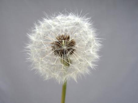 たんぽぽ 蒲公英 綿毛 種 タンポポ 種子 春 ふわふわ 旅立ち 丸い 円 球体 植物 自然 飛ぶ 飛行