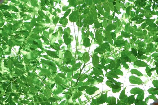 葉っぱ 葉 緑 緑色 グリーン 壁紙 背景 植物 自然 風景 スナップ 重なり