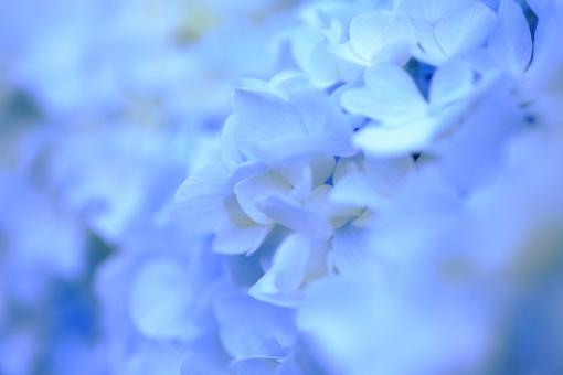 あじさい アジサイ 紫陽花 花 花びら 梅雨 マクロ