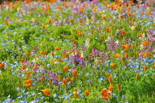 花 花びら 花畑 花々 植物 ネモフィラ リナリア カリフォルニアポピー 春 明るい 楽しい 背景素材 背景 テクスチャー オレンジ 赤 青 緑 グリーン
