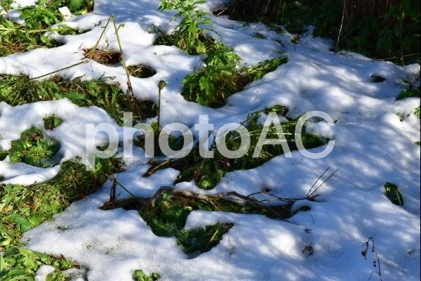 雪解けの写真