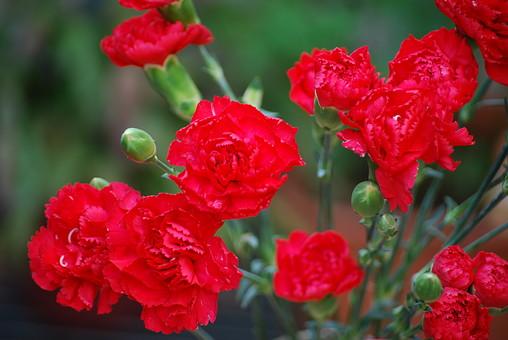 花 花畑 赤い花 風景 自然 植物 赤 あか  野原 草原 無人 風景 原っぱ 植物 野生 満開 屋外 葉 緑 背景 バックグラウンド 一輪 アップ カーネーション 花びら