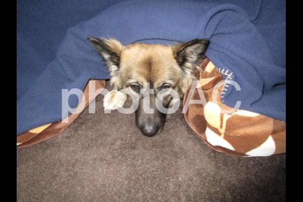 こたつで寛ぐ犬の写真