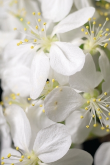 植物 花 果樹 くだもの りんご 林檎 白 縦位置 余白 春 青森 東北