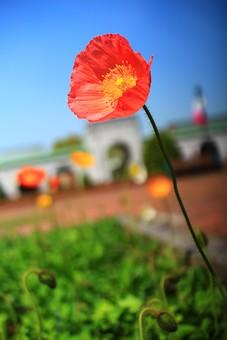 自然 風景 スナップ 旅行 植物 花 あざやか 淡色 人気 コスモス 淡い ポピュラー 花びら 花弁 茎 栽培 ガーデニング 庭園 植物園 温室 見頃 満開 旬 季節 赤 きれい