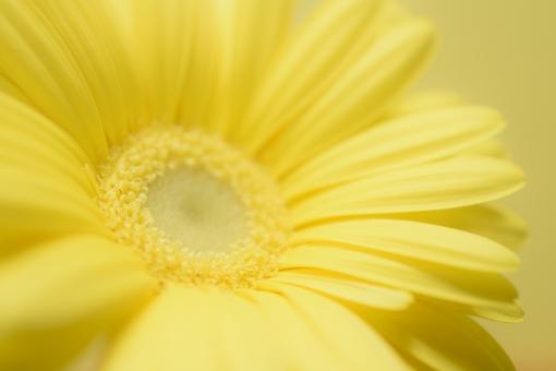 ガーベラ 卵色 たまご色 淡い 黄色 淡い黄色 クローズアップ アップ バックグラウンド 背景 壁紙 テクスチャ コピースペース 文字スペース 花 植物 春 秋 花言葉