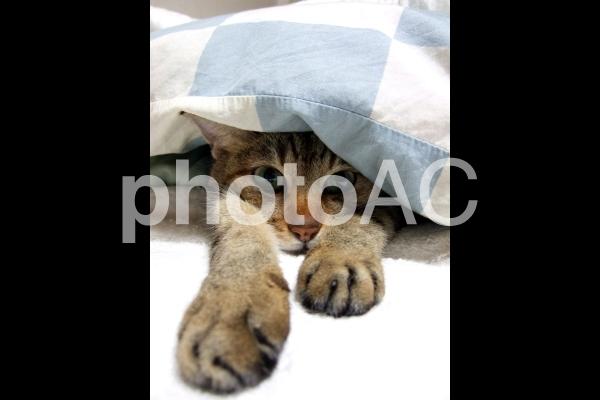 布団からはみ出した猫2の写真