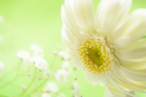 ガーベラ がーべら 白 白い花 花 植物 花言葉 希望 律儀 綺麗 ふんわり 壁紙 テクスチャ 背景 カスミソウ かすみ草 かすみそう グリーン 黄緑 緑 アレンジ フラワーアレンジ クローズアップ アップ コピースペース 文字スペース 春 秋