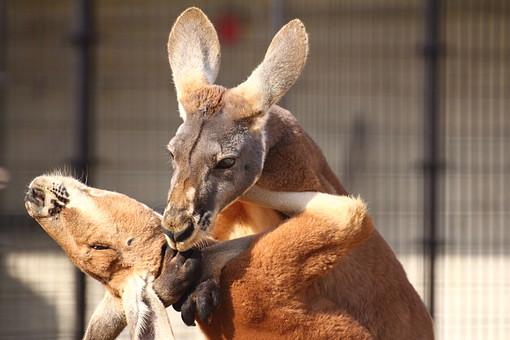 カンガルー 哺乳類 動物 動物園 生き物 飼育 可愛い 毛 毛並み 屋外 外 顔 跳ねる 有袋類 草食動物 オーストラリア 育児嚢  袋 耳 ボクシング 柵 囲い 立つ 向かい合う 仲間 ハグ 抱き合う
