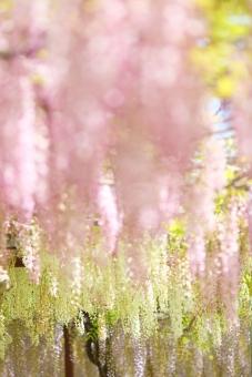 植物 花 藤 4月 5月 ピンク ハイキー 大型連休 行楽 春 初夏 シャングリラ 楽園 明るい 白 花園 幸せ 縦位置 余白 背景 イメージ 幸福 快楽 ニッコール 非ai ニコン クラッシック アンティーク レンズ フィルム アダプター 135mm ニコンレンズ