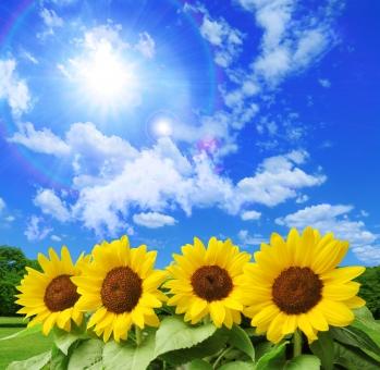 夏の青空とひまわりと太陽と緑の木々の写真