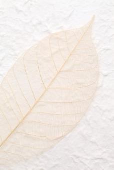 葉 葉っぱ 植物 葉脈 繊維 スケルトン 紙 和紙 手漉き紙 手漉き 手すき 手すき紙 手漉紙 一枚 1枚 ペーパー 模様 工芸 背景 背景イメージ 背景素材 壁紙 テクスチャ テクスチャー 質感 バックグラウンド イメージ スタジオ撮影 半透明 アップ クローズアップ 茶色 余白 コピースペース 手作り 白