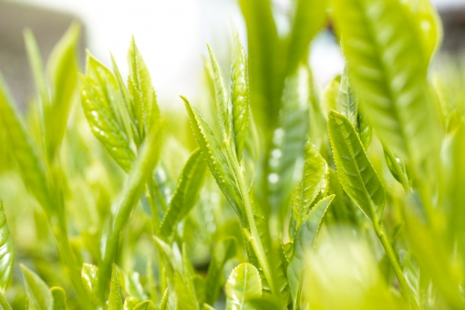 茶 新茶 日本茶 八十八夜 新緑 和 緑 葉 煎茶 茶畑 農業 茶葉 芽 新芽 greentea