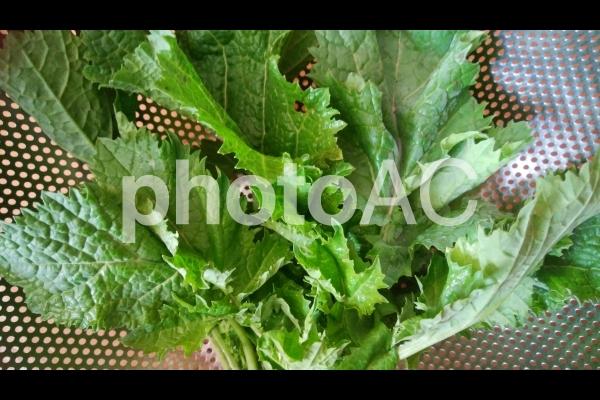 カラシ菜の写真