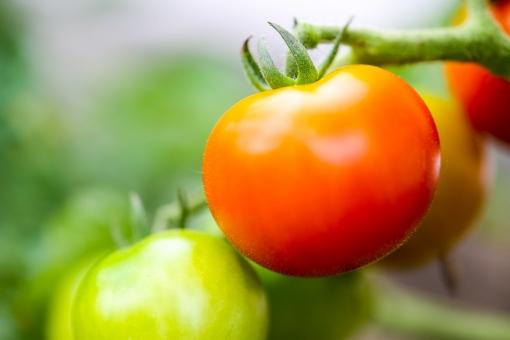 トマト・新鮮野菜の写真
