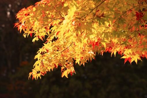 自然 植物 木 樹木 葉 葉っぱ 彩り 紅葉 もみじ 黄色 赤色 秋 10月 11月 山 森 林 森林 見頃 見物 観光 観光客 旅行 アップ 撮影 景色 綺麗 鮮やか 屋外 室外 陽射し 光 暗い 明るい 無人 風景