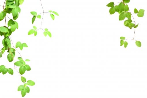 白バック 白背景 リラックス 植物 観葉植物 壁 明るい 日差し 夏 ナチュラル おしゃれ 緑 園芸 ガーデニング グリーン 枠 フレーム コピースペース 春 野外 白 葉 葉っぱ 自然 素材 背景 カード 森 環境 ガーデン ツタ 装飾 エコ 初夏 壁紙 ポストカード シンプル メッセージカード 切り抜き 文字スペース 若草 ツル アクセント チラシ ウェルカムボード ホワイトスペース フリー素材 文字入れ 抜き psd