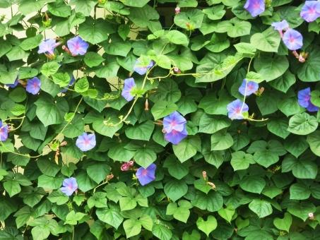アサガオ あさがお 夏 花 紫 ムラサキ 青 ブルー 葉 ツル 壁 日除け 遮光 プラント ガーデン 省エネ 和風 生垣