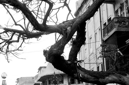 パキスタン 外国 熱帯 南国 南アジア 自然 植物 木 樹木 枝 幹 枯れる 曲がる 伸びる 成長 育つ 大木 高い アップ 空 建物 建築 建築物 施設 室外 屋外 景観 白黒 モノクロ