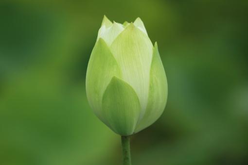 古代蓮の里 行田の蓮まつり 白い花 つぼみ やさしく