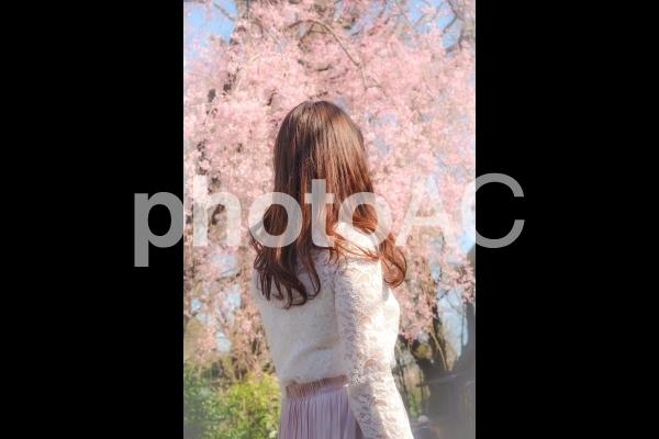 桜を見る女性の後ろ姿の写真