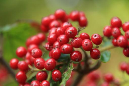 植物 樹 木 樹木 緑 自然 屋外 風景 景色 葉っぱ 葉 みどり 木の実 実 赤い実 南天 種 種子 小さい たね なんてん ナンテン 正月 年賀状 冬