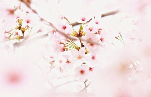 桜の木に関する写真写真素材なら写真ac無料フリーダウンロードok