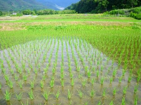 たんぼ 田んぼ 田植え 棚田 米 お米 ご飯 水田 みどり TPP こしひかり イネ 稲 苗 農業 新緑