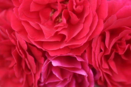花びら 光 キラキラ 園芸 おめでとう 淡い 赤 バックグラウンド フラワー 爽やか happy birthday 背景デザイン 自然 ナチュラル 幸せ 春 薔薇 バラ ばら プレゼント フラワーアレンジ 贈り物 ギフト お祝い 結婚 母の日 誕生日 ウェディング カード メッセージ バースディカード 背景 壁紙 花 植物 初夏 5月 記念日 メッセージカード 可愛い かわいい 優しい ソフト やわらかい バレンタイン バレンタインデー ホワイトデー 背景素材 素材 rose rosa ローズ フレーム コピースペース スペース テキストスペース