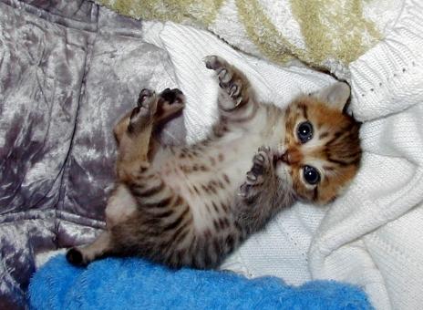 子猫 仔猫 猫 ネコ ねこ 赤ちゃん 小さい 仰向け カメラ目線 視線 大きな目 瞳 うるうる 甘える 癒し かわいい 可愛い 猫の手 手を伸ばす 両手 天使 寝転がる 家猫 室内猫 ちゃこ 目を開けた 見つめる お腹 ぽっちゃり 動物
