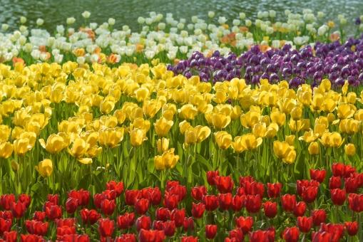 チューリップ 花 花びら 植物 カラフル 花壇 庭園 ガーデニング 赤 黄色 グリーン 背景素材 春 背景 テクスチャ テクスチャー
