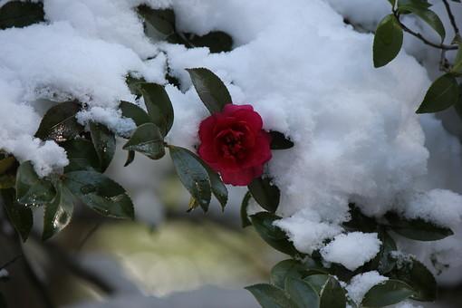 寒椿 椿 花 カンツバキ  ツバキ サザンカ 山茶花 常緑中低木 植物 葉 葉っぱ 冬 真冬 雪 雪景色 銀世界 積雪 季節 景色 風景 庭 庭園 自然 赤い花 赤