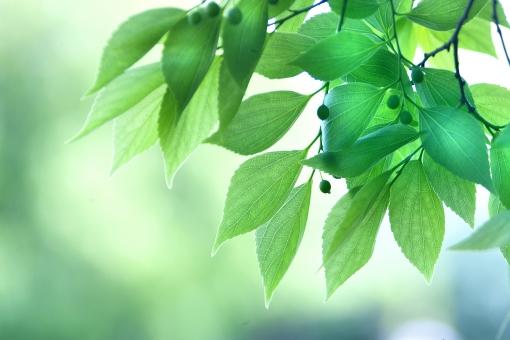 自然 風景 植物 樹木 木の葉 緑の葉っぱ 新緑 若葉 新芽 初夏 夏 五月・六月 七月・八月 木漏れ日 木陰 光を浴びて 光透過光 季節感 暑中見舞い ポストカード コピースペース バックスペース みずみずしい 野外アウトドア 背景 テクスチャー マイナスイオン