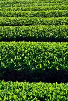 茶畑 グリーン 緑 夏 茶 八十八夜 背景