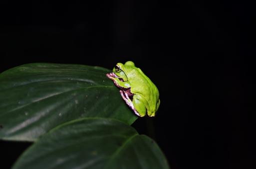 爬虫類 はちゅうるい 脊椎動物 爬虫綱 動物 生物 生き物 アップ クローズアップ 接写 自然 植物 葉 葉っぱ 野生 這う カエル かえる 蛙 模様 ジャングル 森 林 両生類 アオガエル
