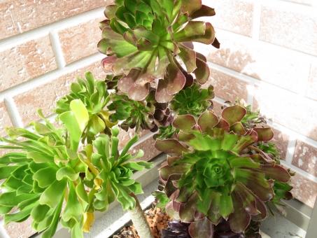 黒法師 観葉植物 植物 くろほうし グリーン