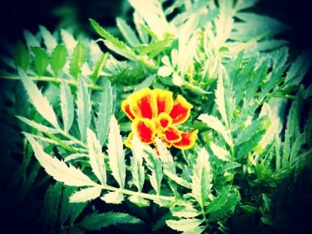 マリーゴールド 花壇 花 植物 オレンジ カラフル レトロ トイフォト