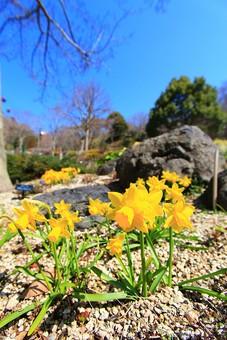自然 風景 スナップ 旅行 植物 花 あざやか 原色 人気 野花 地面 ポピュラー 花びら 花弁 茎 栽培 ガーデニング 庭園 植物園 温室 見頃 満開 旬 季節 黄色 きれい