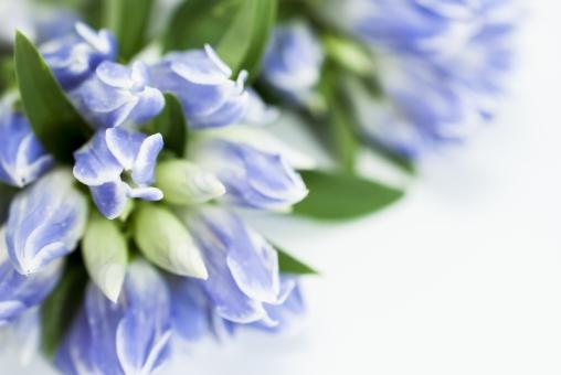 青いリンドウの写真